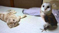 Can barn owl and cat become friends? What video to find out.