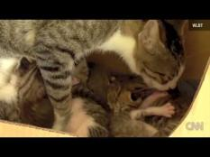 Baby squirrel learns to purr after falling out of a tree, and being nursed by a momma cat and raised with kitten family.