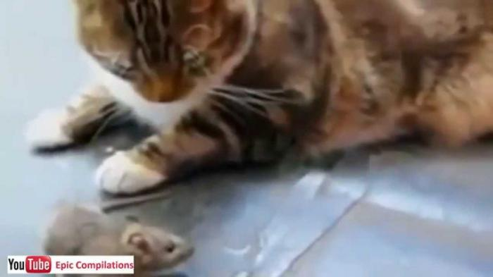 Cat wants to be friend with mouse - Funny Cat Videos