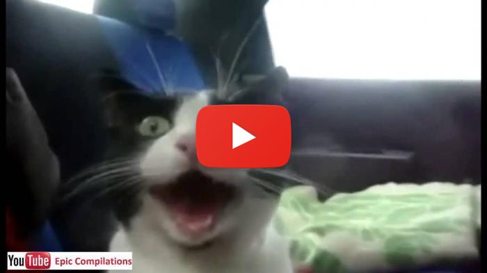 Excited Cat In Car - Funny Cat Videos - Funny Cats Videos Funny Videos