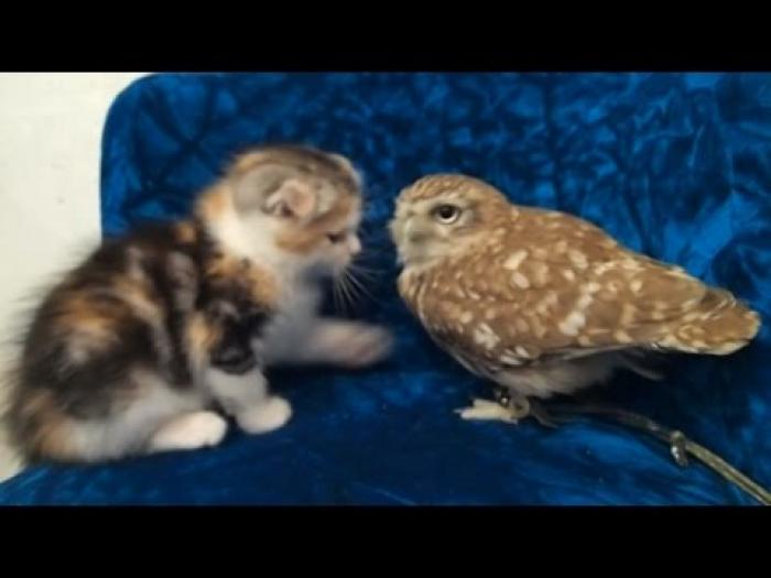 Kitten and owl could be best friends