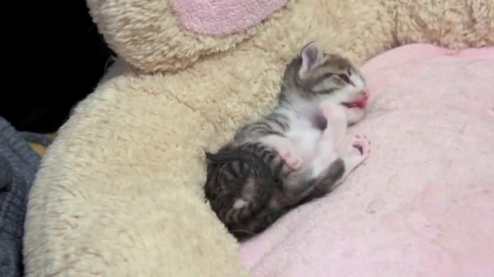 New born kitten couldn't rolling by himself