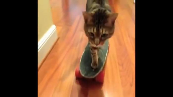 Skate Board Cat - Best Funny Cats Videos for Today