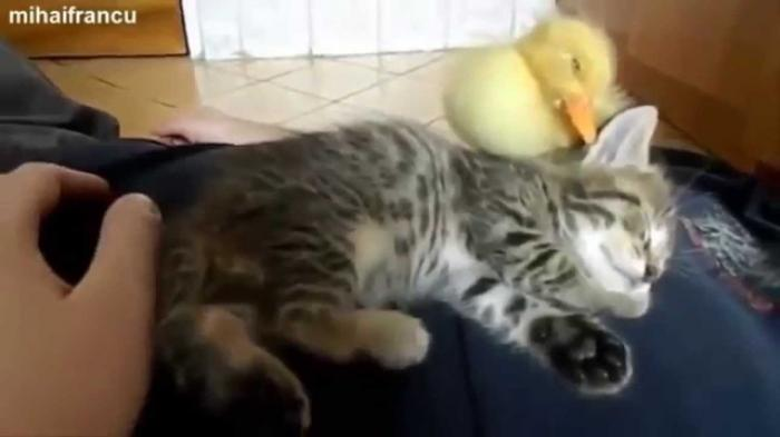 sleeping kitten with rubber duck   funny cats videos