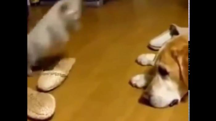 Small kitten is attacking big dog