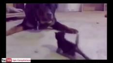 Is small kitten brave enough or it will get scared by big dog? Watch the video to see what happens.